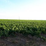 Les vignes du Landreau