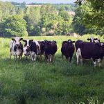 Shooting de vaches laitières sous l'objectif d'un Dandy